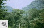 Las deszczowy Bwindi.
