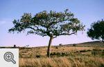 Drzewo kiełbasiane, z jego owoców robi się tykwy do
