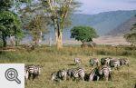 W Ngorongoro zwierzęta spotykaliśmy na każdym kroku